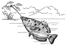 Schützenfisch auf der Jagdt